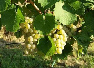 berba grožđa u Feravinu