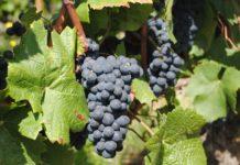 potpore vinarima
