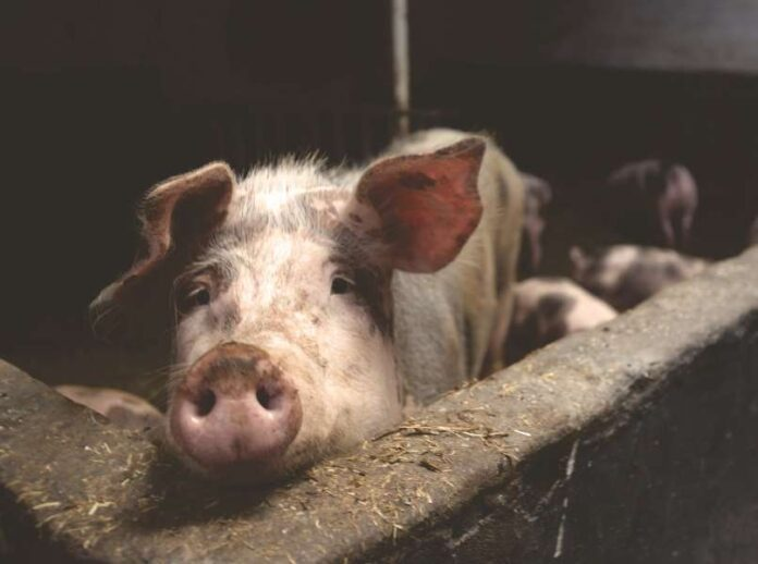 Uvoz svinja